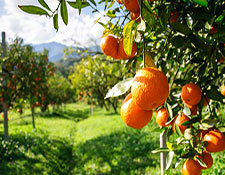 A field of trees growing ripe oranges