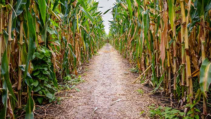 Corn Maze Business Image