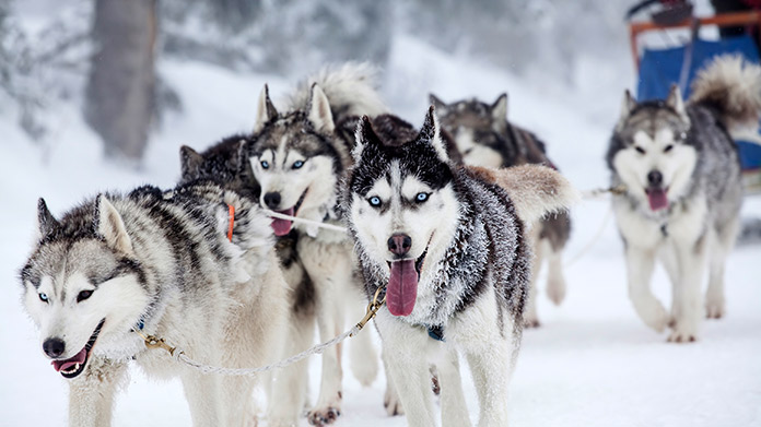 Dog Sledding Business Image