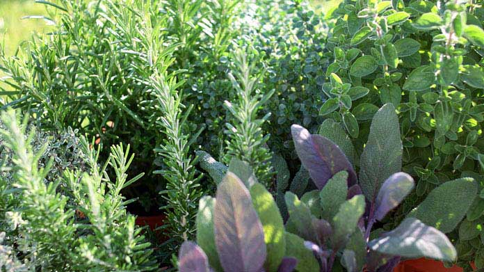 A garden filled with herbs