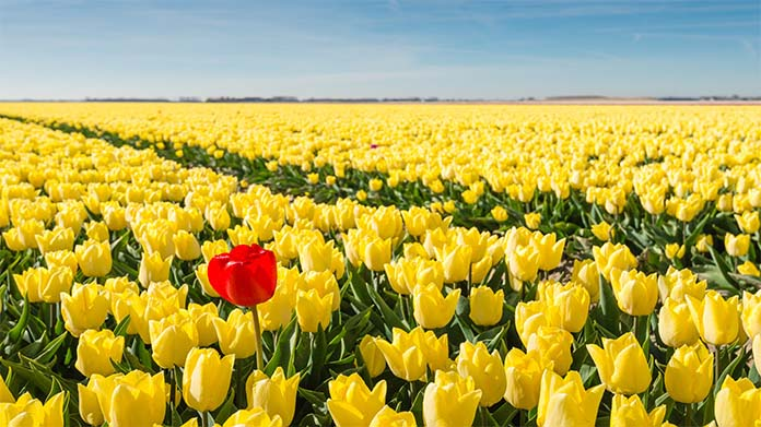 A field of yellow tulips stretching towards the horizon with a single red tulip in the foreground